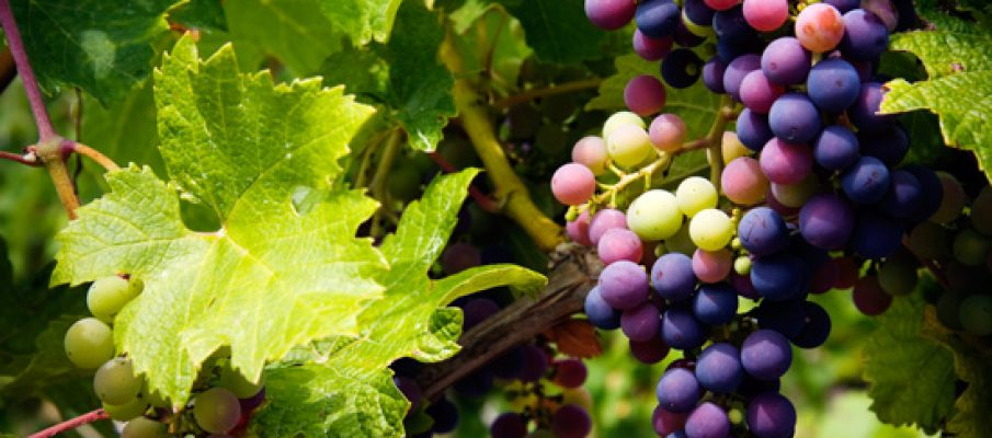 iStock_000014052286 grapes1