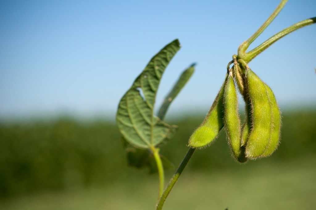MU team narrows search for parasite that destroys soybean yields
