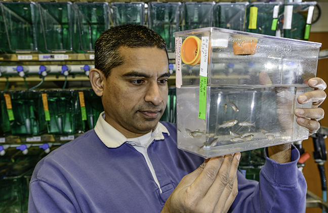 Bond LSC scientist Anand Chandrasekhar uses zebrafish as a model to study how motor neurons develop. These adult zebrafish lay eggs that are used in experiments to gain insight into how motor neurons arrange themselves as embryos grow into adults.