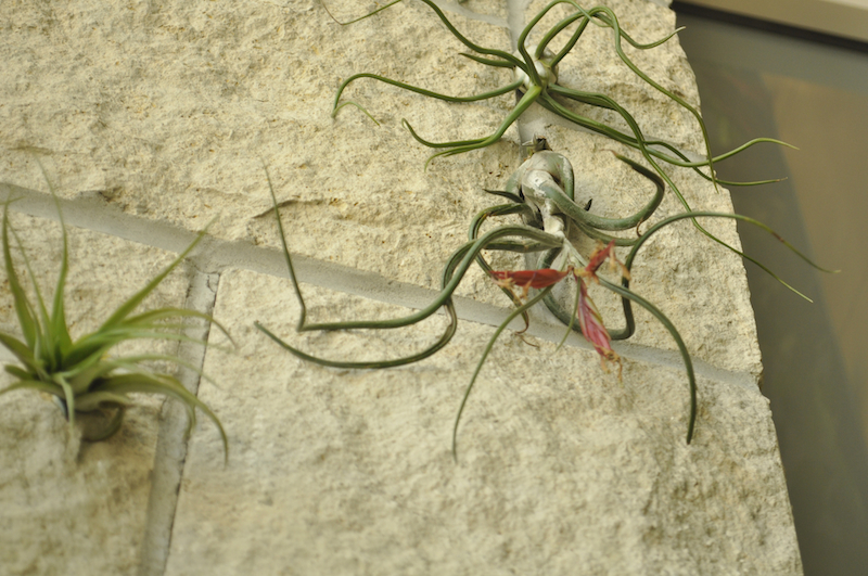 With leaves more like Medusa's hair, Thallandsia are rootless plants mounted on stone  alongside the plant wall. | Paige Blankenbuehler