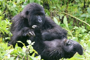 In June 2014 Cheryl Rosenfeld traveled to Rwanda to observe mountain gorillas as part of her veterinary continuing education.