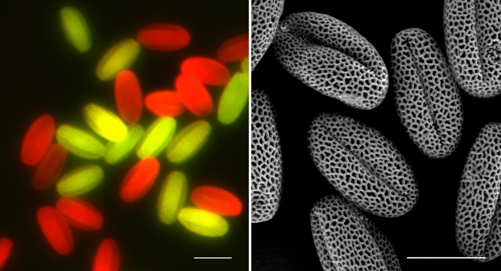 Left: Pollen grains with MAPK3/4 genotypes are illuminated using a fluorescent microscope. RIGHT: Normally developed pollen grains shown by an electronic microscope scan. | Credit: Shuqun Zhang
