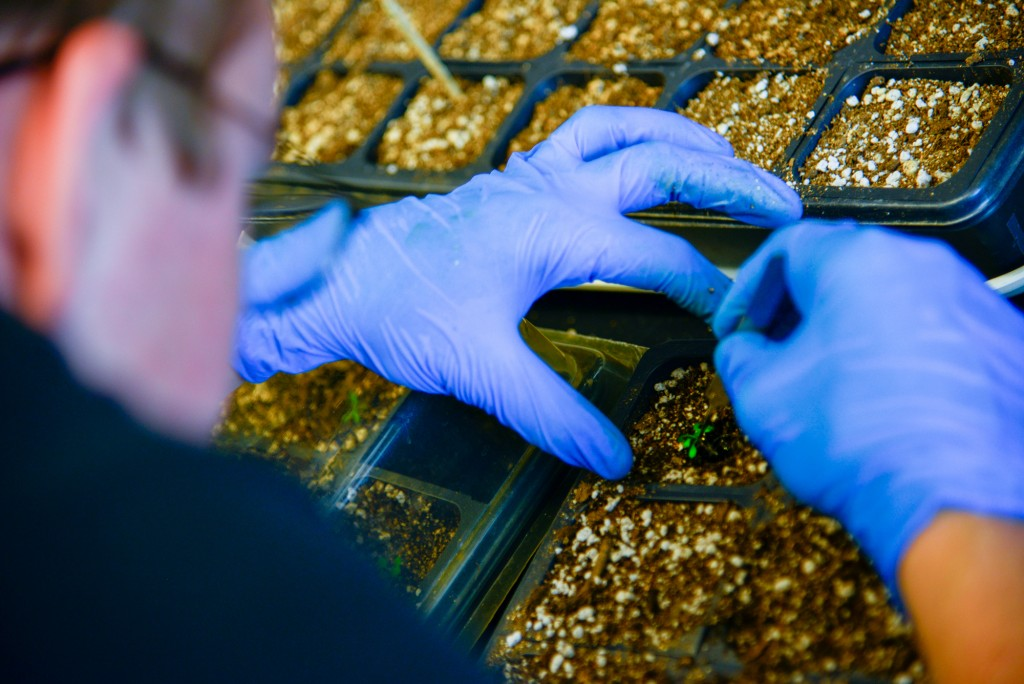 Schmidt moves an Arabidopsis seedling from a petri dish to fresh soil with the rest of the grown seedlings. Arabidopsis can grow from seed to seedling with two weeks. It's a favorite among scientist, according to the National Science Foundation.